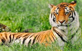 Relaxed Tiger In The Grass