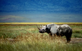 Rhinoceros In A Grass Field