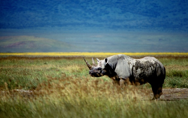 Rhinoceros In A Grass Field (click to view)