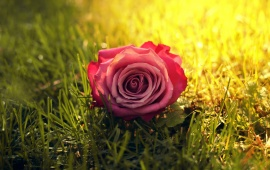 Rose Flower On Grass