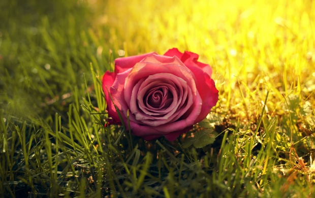 Rose Flower On Grass (click to view)