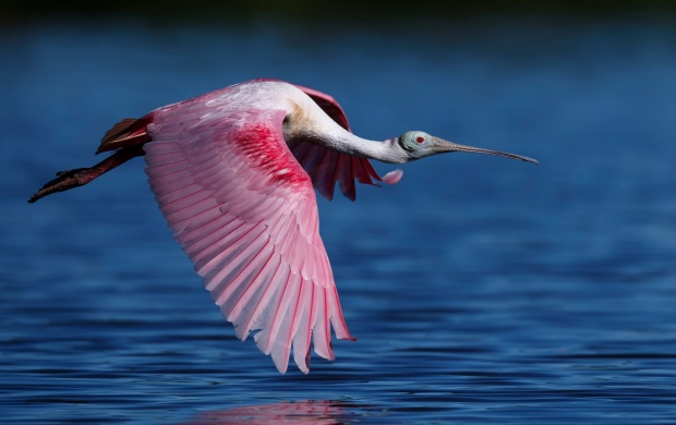 Roseate Spoonbill Flying Water (click to view)