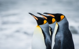 Royal Antarctica Penguins