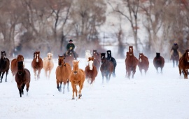 Running Horses At Snow