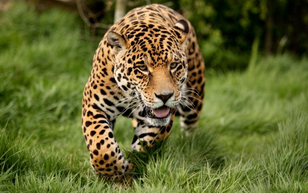 Running Panther (click to view)