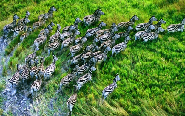 Running Zebras Seen From Above (click to view)