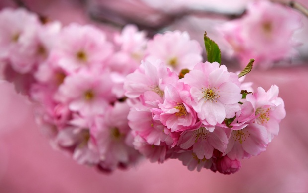 Sakura Cherry Flowers (click to view)