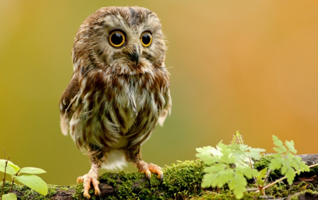 Saw Whet Owl (click to view)