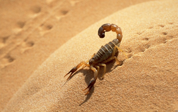 Scorpion (click to view)