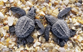 Sea Little Turtles