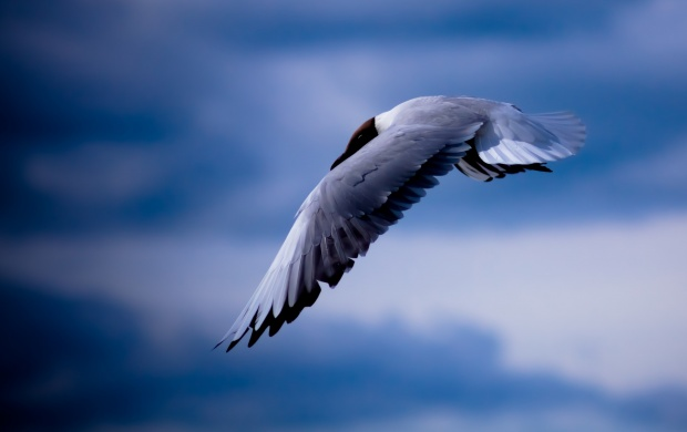 Seagull Bird Flying Blue Sky (click to view)