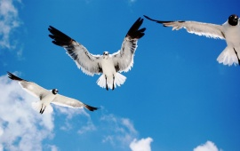 Seagulls Flying In Blue Sky