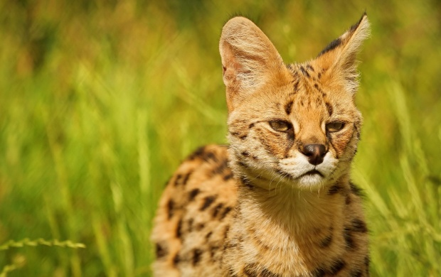 Serval Beautiful Ears (click to view)