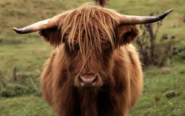Shetland Cow (click to view)