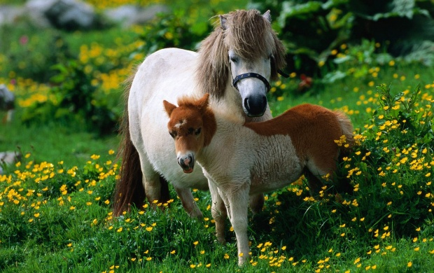 Shetland Pony Horse (click to view)