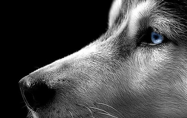 Siberian Husky Close Up (click to view)