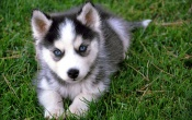 Siberian Husky On The Grass