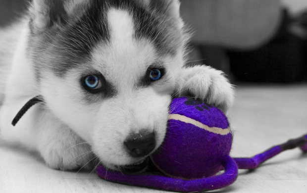 Siberian Husky Puppy (click to view)