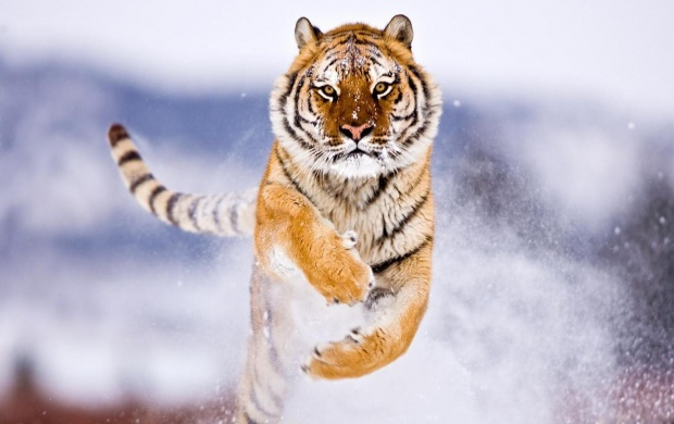 Siberian Tiger Running (click to view)