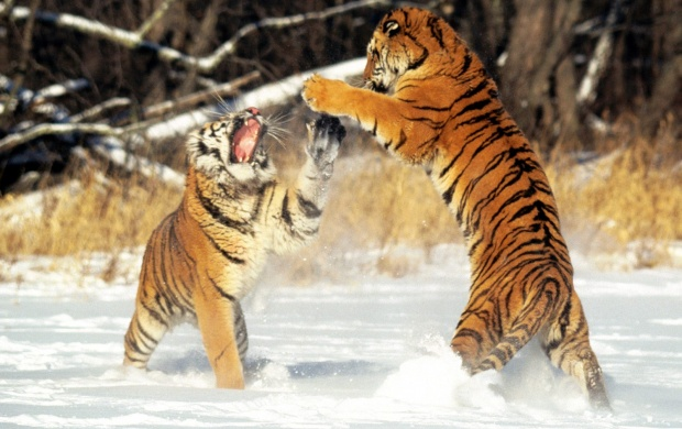 Siberian Tigers (click to view)