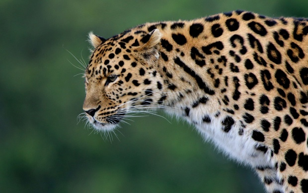 Silent Leopard (click to view)