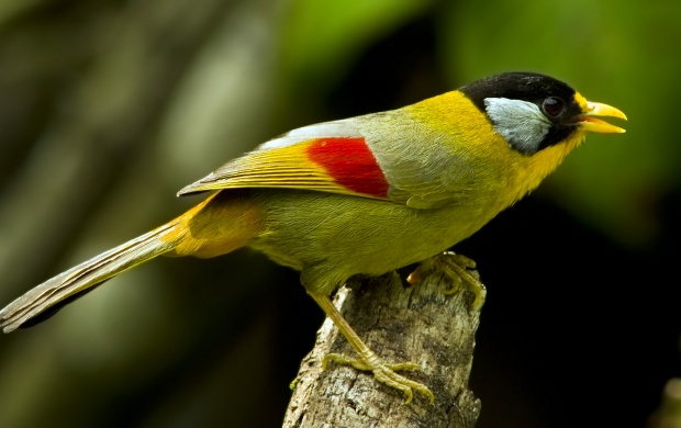 Silver Eared Mesia (click to view)