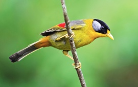 Silver Eared Mesia On Branch