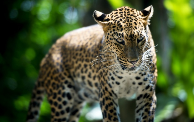 Singapore Zoo Leopard (click to view)