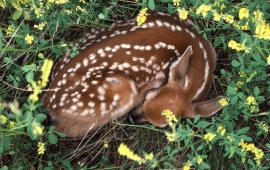 Sleeping-Whitetail-Fawn