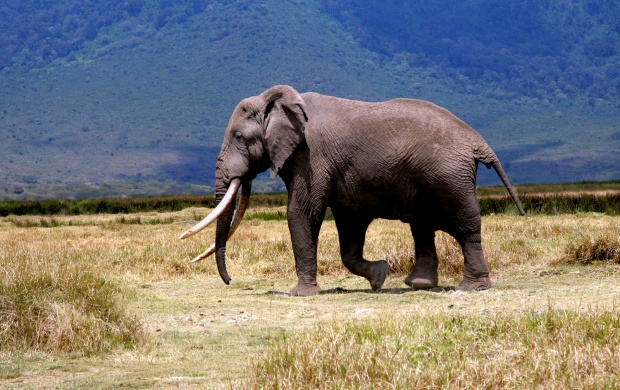 Slon Elephant (click to view)