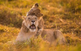 Small Lion Cub Plays With Lioness