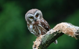 Small Owl on Branch