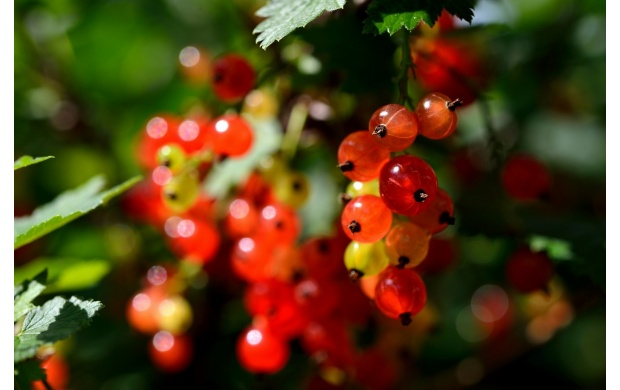 Small Red Fruits On A Branch (click to view)