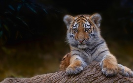 Small Tiger Sitting At Tree Branch