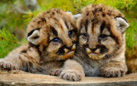 Small Two Cougar Baby