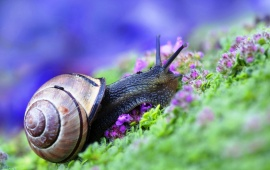Snail At Grass And Purple Flowers