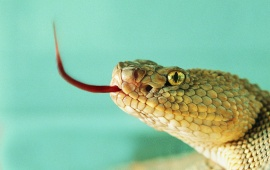 Snake Red Tongue