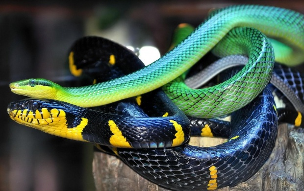 Snake Scales Color (click to view)