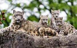 Snow Leopard Kids