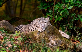 Snow Leopard Laying And View
