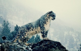 Snow Leopard On Mountains