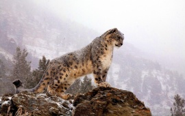 Snow Leopard Standing On Rock