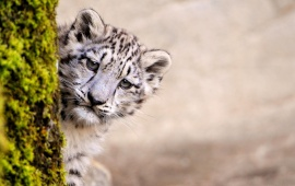 Snow Leopard View