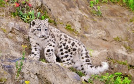 Snow Leopardess Walking On Stone