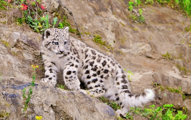 Snow Leopardess Walking On Stone (click to view)