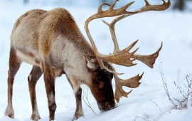 Snow Red Deer Eating Grass