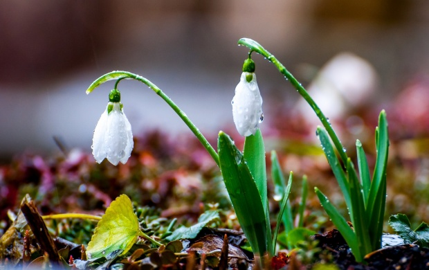 Snowdrops On White Flower (click to view)