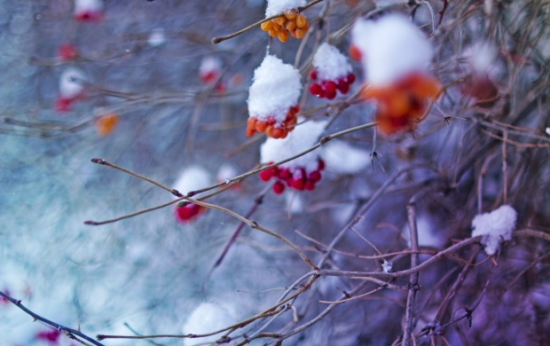 Snowy Mountain Ash (click to view)