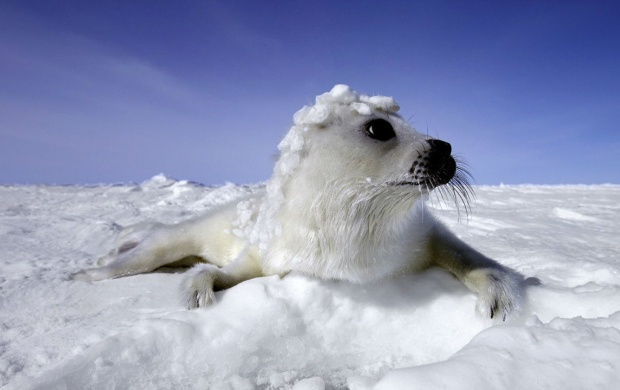 Snowy Seal (click to view)