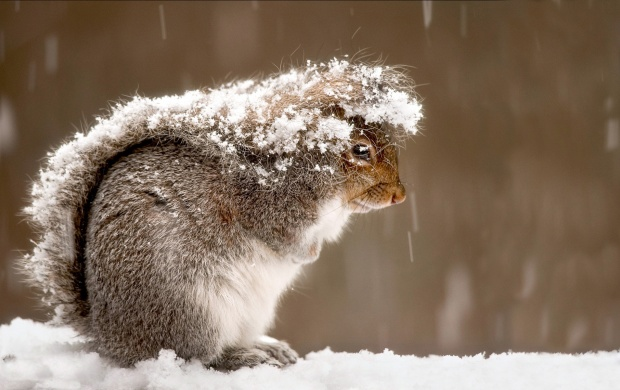 Snowy Squirrel (click to view)